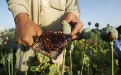 Campo de cultivo de opio en Afganistán