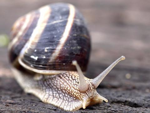 Un caracol avanza sobre el suelo.
