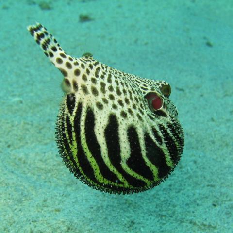 Este pez erizo puede provocar tripofobia