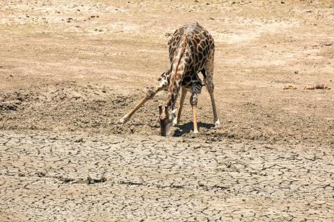 Una jirafa sedienta en Kruger National Park de Sudáfrica.