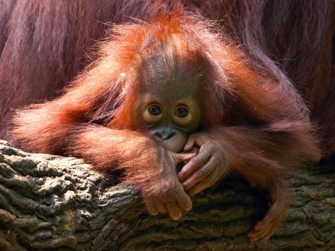 Un orangután de Borneo de dos años.