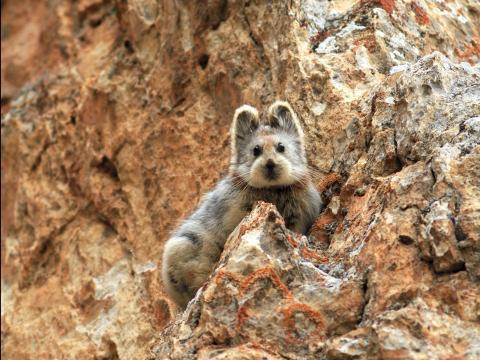 El ili pika fue fotografiado por primera vez en más de 20 años el 9 de julio de 2014 por Weidong Li, el conversacionista que descubrió la especie.