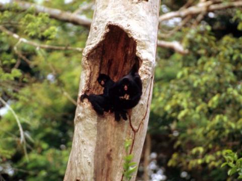 Un mono araña se alimenta mientras hace un agujero en un árbol en Perú.