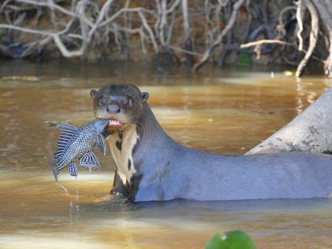 Una nutria gigante con un pez en el río Cuiabá de Brasil.