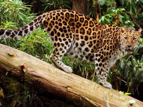 Los leopardos del Amur están críticamente en peligro, con unos 60 ejemplares libres y 200 en zoológicos de todo el mundo.