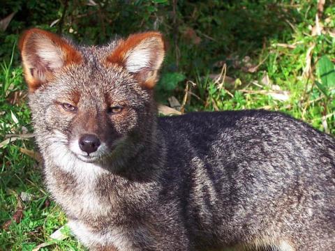 El zorro de Darwin es una especie endémica de Chile.