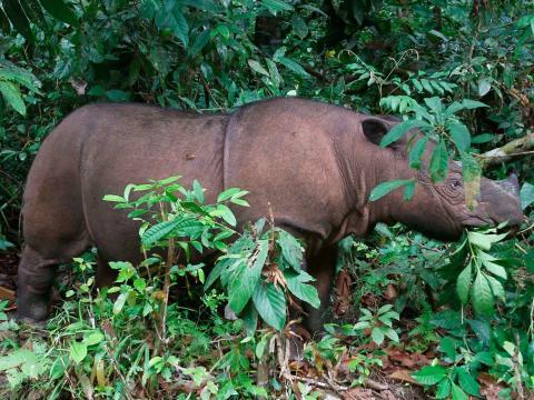 Ratu, una hembra de ocho años de rinoceronte de Borneo. Vive en el santuario para rinocerontes del Parque Nacional Kambas, en Indonesia.