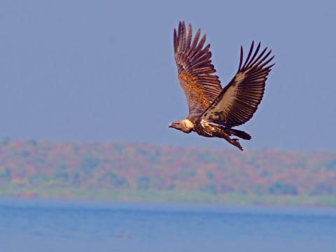 Un buitre dorsiblanco bengalí vuela cerca del agua.