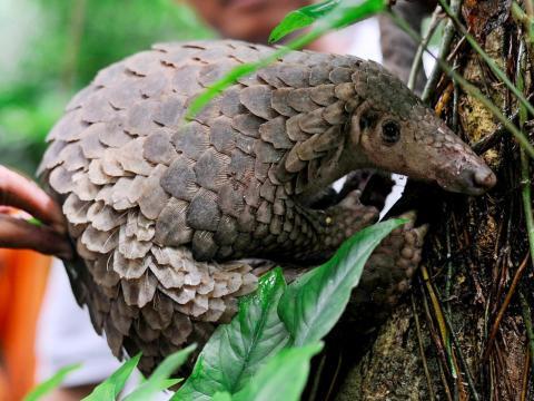 Un pangolín es liberado en la naturaleza en Sibolangit, Indonesia, en marzo de 2013.