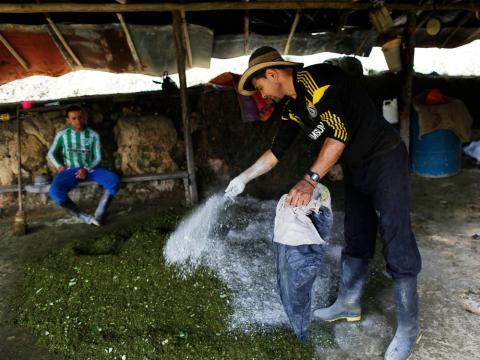 Un agricultor colombiano rocía cemento sobre hojas de coca trituradas para hacer pasta de coca en Antioquia (Colombia), el 7 de enero de 2016.