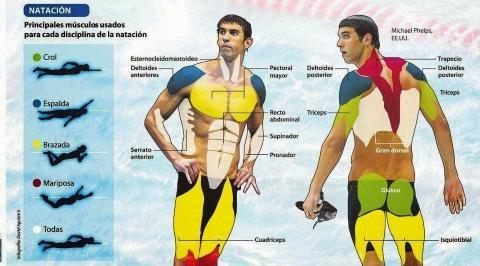Músculos empleados en la natación