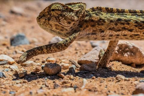 Camaleón en la naturaleza, adaptabilidad al cambio