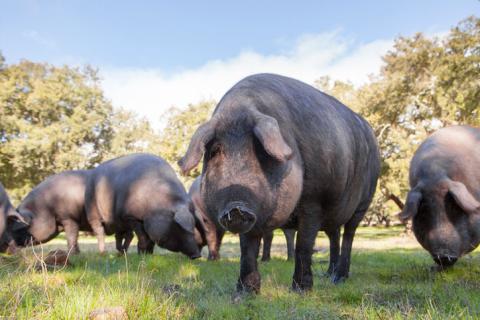Ejemplares de cerdos ibéricos en libertad