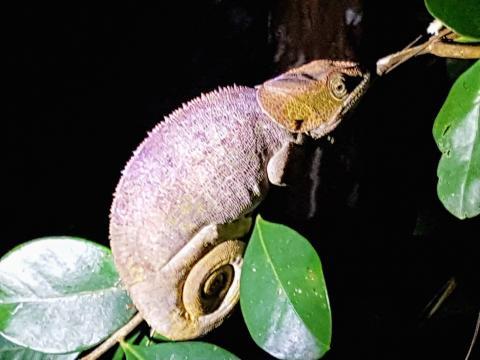 Madagascar Camaleón
