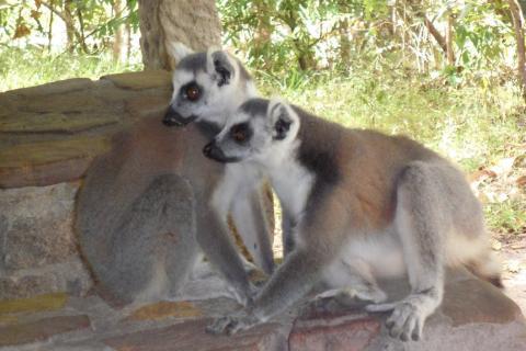 Madagascar Lemur de Cola Anillada