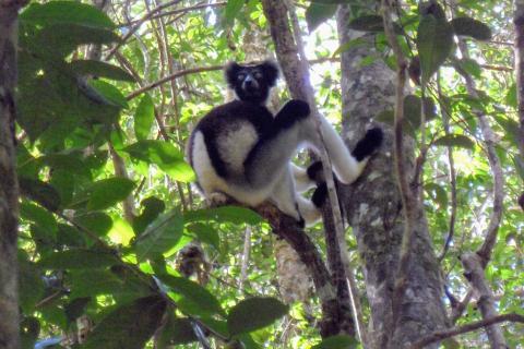 Madagascar Lemur Indri