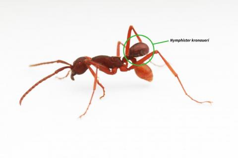 The <em>Nymphister kronaueri</em> isn't an ant — it's a tiny beetle that disguises itself as the abdomen of an army ant.