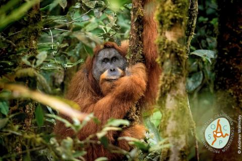The <em>Pongo tapanuliensis</em> orangutan was recently discovered to be a distinct species of great ape.