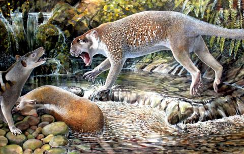 This reconstruction of <em>Wakaleo schouteni</em> shows a marsupial lion that weighed about 50 pounds and stalked the forests of northwestern Queensland 23 million years ago.