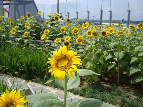 15. ...Sunflower garden.