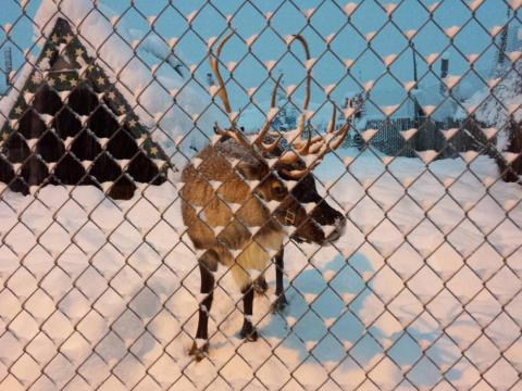 """""""There are reindeer in a pen right in front of the condo."""""""