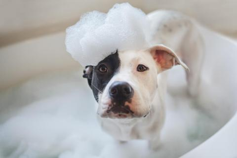 Dog experts say a monthly bath is the best way to keep your pooch healthy.