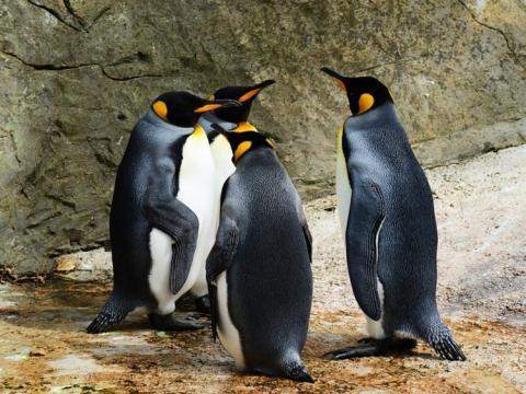 causas del descenso pingüinos rey
