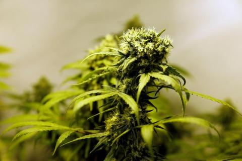 Marijuana plants are seen in an indoor marijuana plantation of a marijuana smokers club in the outskirts of Montevideo, Uruguay.