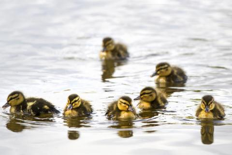 Ducks may be a smarter food source than chickens in the near future, the commission suggests, because they can swim through a flood, if needed.