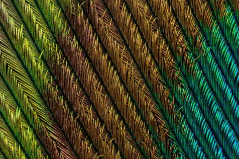 Ever seen a peacock feather this close? This is the fourth-place winner.