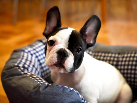Los bulldogs franceses son discretos y cariñosos.