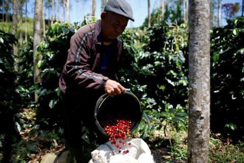 Hombre recolecta café en una plantación