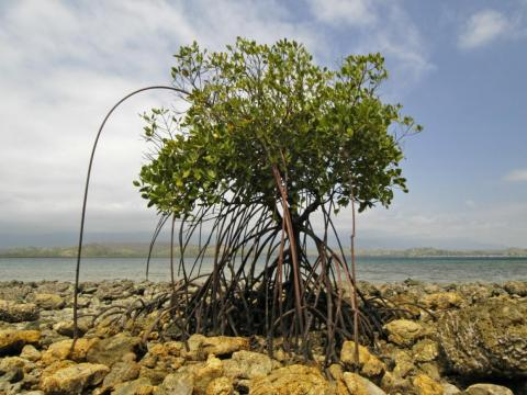 Natural adaptations like mangroves are around 30 times cheaper than manmade seawalls, according to a recent report from Lloyd's of London.