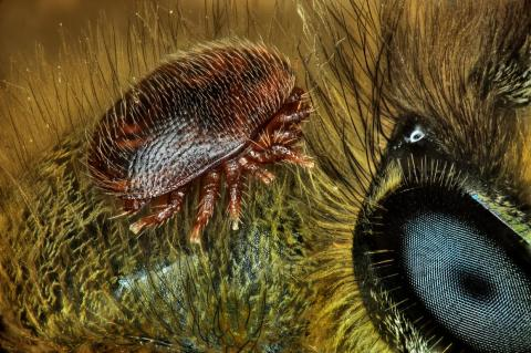 No. 15: A mite on the back of a honeybee.