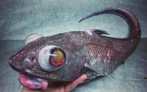 """Los macrúridos o granaderos son una familia de peces conocidos habitualmente como """"cola de rata"""""""