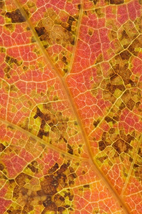 The underside of a decaying northern red oak leaf.