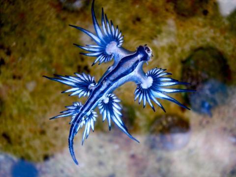 El ángel azul es una babosa marina carnívora.