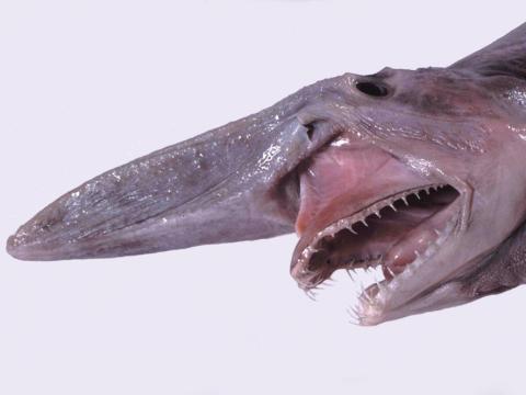 El tiburón tiene dientes que parecen uñas.