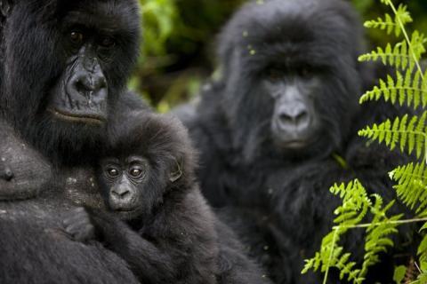Gorilas Parque Nacional