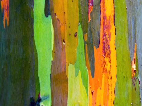 La corteza de colores del Eucalyptus Deglupta suele ser menos intensa cuando el árbol crece fuera de su zona autóctona