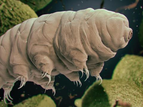 Los expertos creen que las tardigradas podrían sobrevivir en caso de colisión de una supernova o un asteriode.
