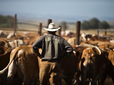 Granjero rodeado de vacas.