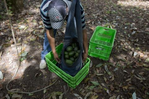 A man works at an avocado orchard owned by the Cevallos family in Michoacan, Mexico.