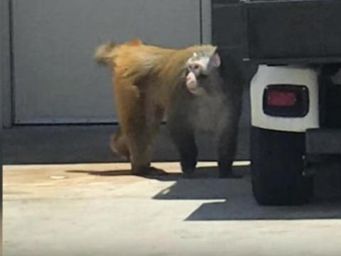 Imagen del mono que se escapó en el Aeropuerto de San Antonio.
