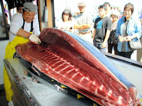 The 2013 massive, 489-pound fish came from Oma, Aomori — about a two-hour drive from Aomori City. The bluefin tuna that comes from Oma is said to be the best in the world.