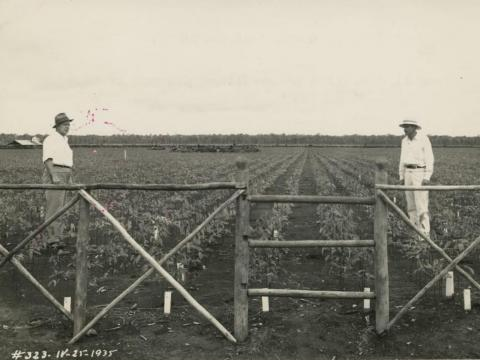 Ford also made the mistake of having the trees planted in tight rows away from steady water flow, giving fungi and pests plenty of room to wreak havoc on the young buds.