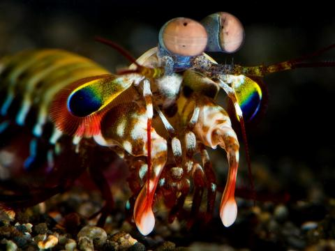 A Mantis Shrimp can punch with the force of a 22-caliber bullet.