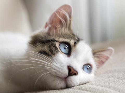 """Si tu gato te muerde o araña podrías coger la """"enfermedad del arañazo de gato""""."""