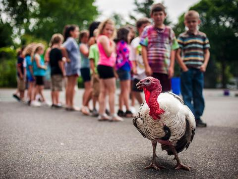 Some turkeys can spontaneously impregnate themselves through a process called Parthenogenesis.