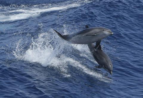 Sometimes, dolphins play in the wake of cruise ships, making for some spectacular sightseeing.